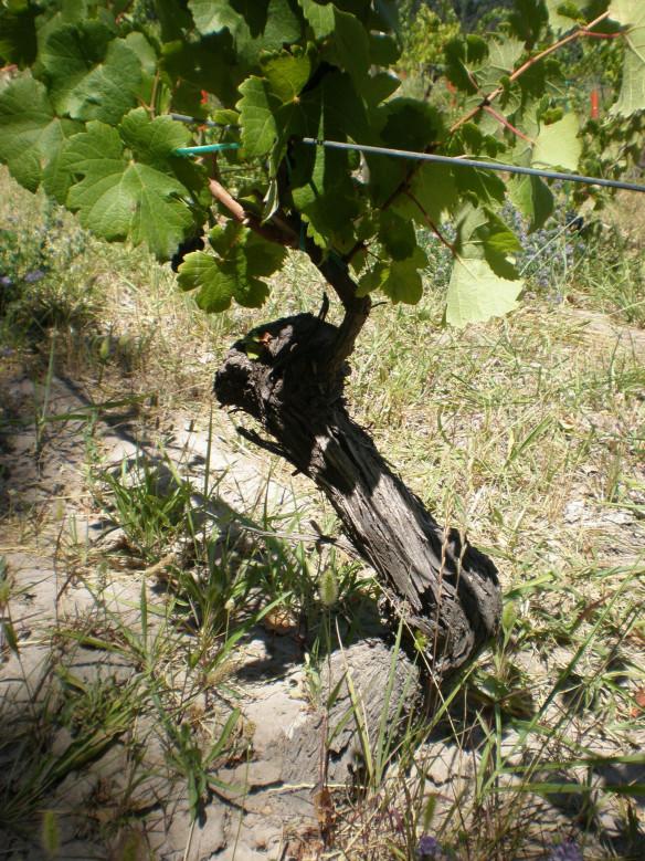 Viejas viñas de Pinot Noir en Mainqué, Bodega Chacra